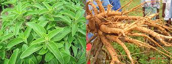 コレウスフォルスコリの葉と根
